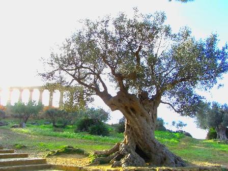 Creato il primo elenco degli alberi monumentali d italia for Aiuola con olivo